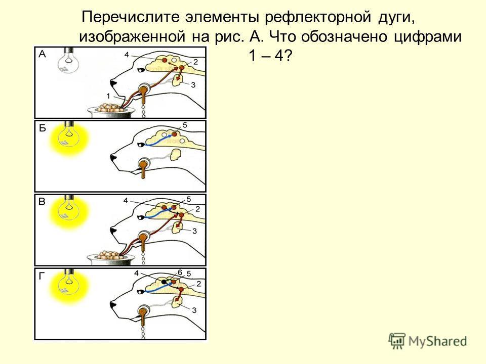 Перечислите элементы рефлекторной дуги, изображенной на рис. А. Что обозначено цифрами 1 – 4?