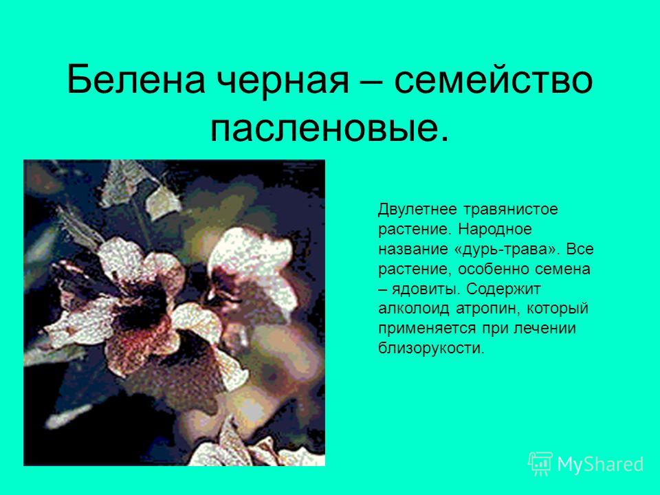 Белена черная – семейство пасленовые. Двулетнее травянистое растение. Народное название «дурь-трава». Все растение, особенно семена – ядовиты. Содержит алколоид атропин, который применяется при лечении близорукости.