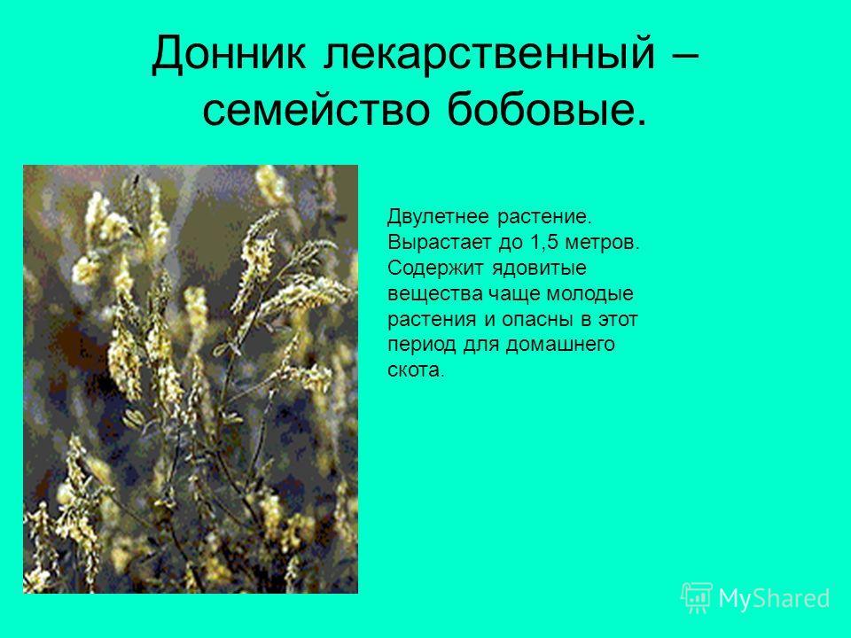Донник лекарственный – семейство бобовые. Двулетнее растение. Вырастает до 1,5 метров. Содержит ядовитые вещества чаще молодые растения и опасны в этот период для домашнего скота.