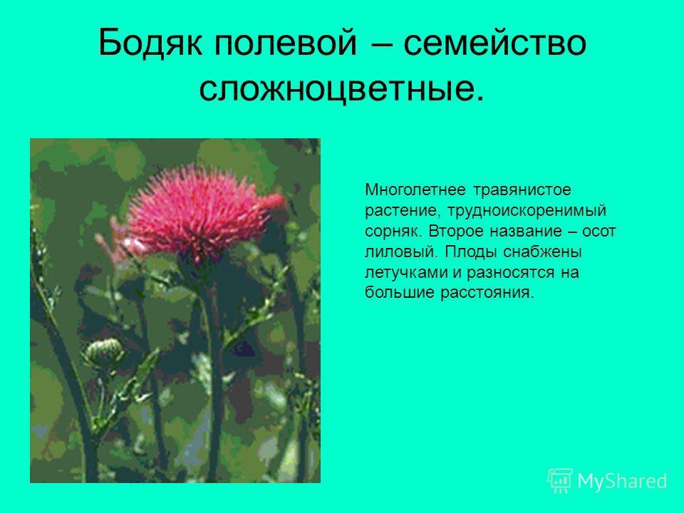 Бодяк полевой – семейство сложноцветные. Многолетнее травянистое растение, трудноискоренимый сорняк. Второе название – осот лиловый. Плоды снабжены летучками и разносятся на большие расстояния.