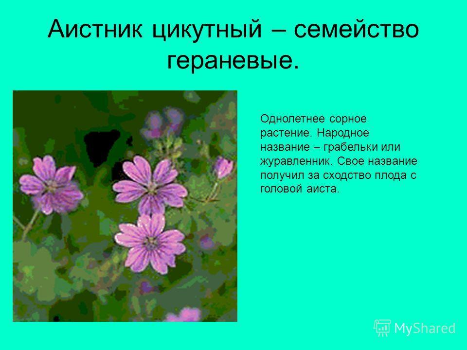Аистник цикутный – семейство гераневые. Однолетнее сорное растение. Народное название – грабельки или журавленник. Свое название получил за сходство плода с головой аиста.