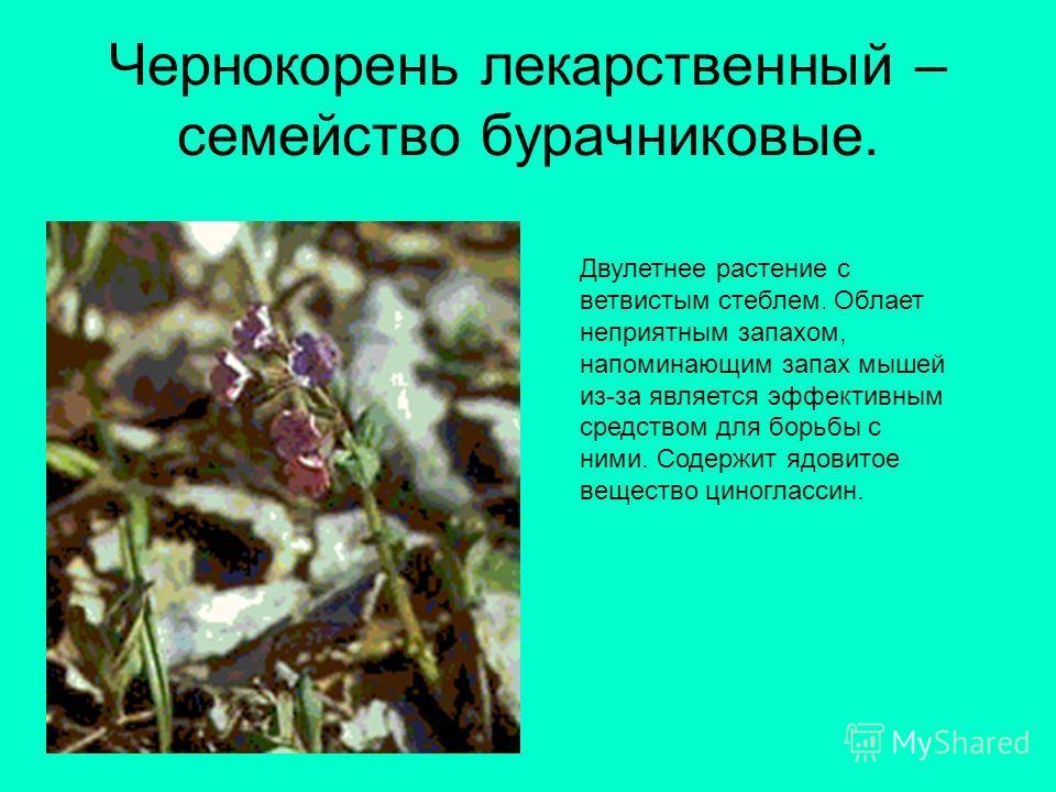 Чернокорень лекарственный – семейство бурачниковые. Двулетнее растение с ветвистым стеблем. Облает неприятным запахом, напоминающим запах мышей из-за является эффективным средством для борьбы с ними. Содержит ядовитое вещество циноглассин.