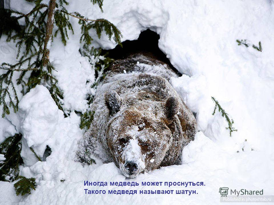 Иногда медведь может проснуться. Такого медведя называют шатун.