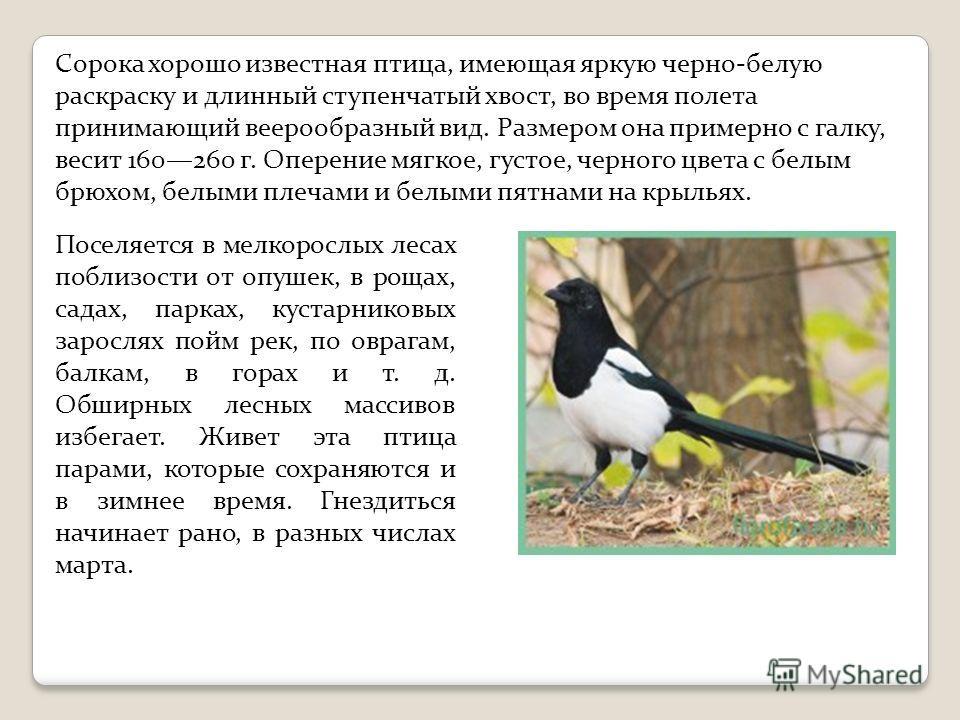 Сорока хорошо известная птица, имеющая яркую черно-белую раскраску и длинный ступенчатый хвост, во время полета принимающий веерообразный вид. Размером она примерно с галку, весит 160260 г. Оперение мягкое, густое, черного цвета с белым брюхом, белым