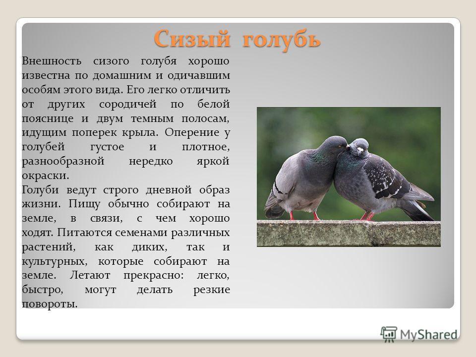 Сизый голубь Внешность сизого голубя хорошо известна по домашним и одичавшим особям этого вида. Его легко отличить от других сородичей по белой пояснице и двум темным полосам, идущим поперек крыла. Оперение у голубей густое и плотное, разнообразной н