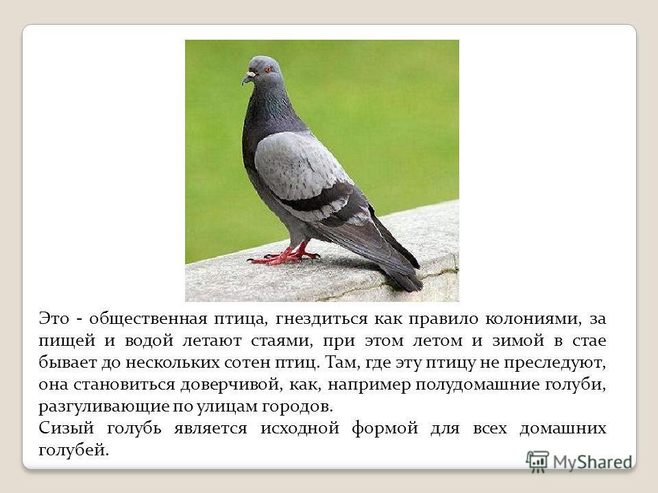Это - общественная птица, гнездиться как правило колониями, за пищей и водой летают стаями, при этом летом и зимой в стае бывает до нескольких сотен птиц. Там, где эту птицу не преследуют, она становиться доверчивой, как, например полудомашние голуби