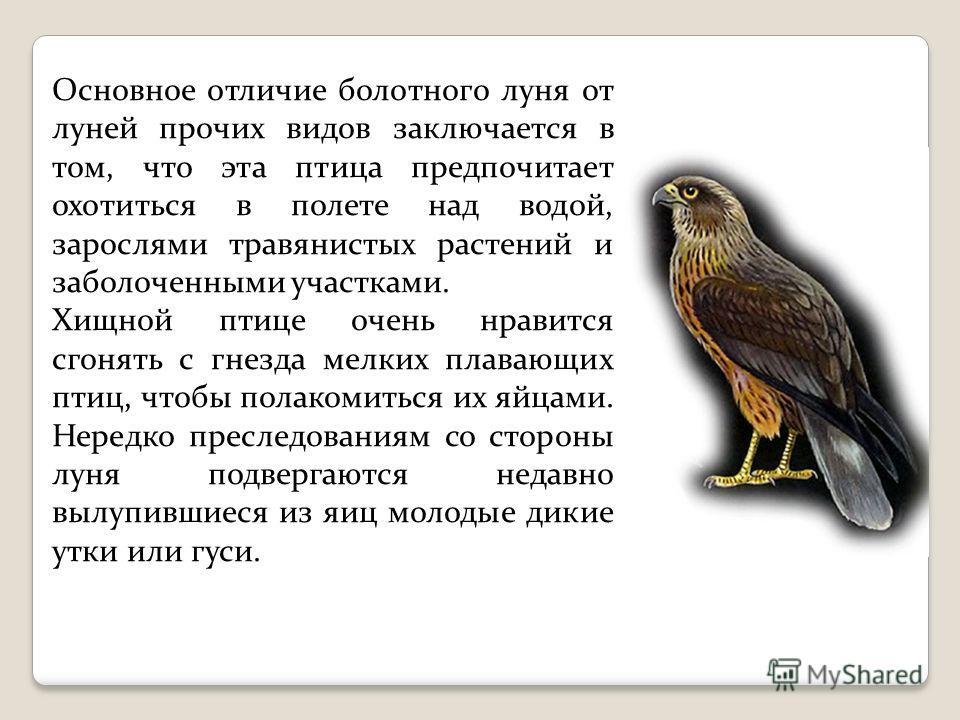 Основное отличие болотного луня от луней прочих видов заключается в том, что эта птица предпочитает охотиться в полете над водой, зарослями травянистых растений и заболоченными участками. Хищной птице очень нравится сгонять с гнезда мелких плавающих