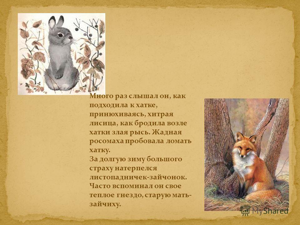 Много раз слышал он, как подходила к хатке, принюхиваясь, хитрая лисица, как бродила возле хатки злая рысь. Жадная росомаха пробовала ломать хатку. За долгую зиму большого страху натерпелся листопадничек-зайчонок. Часто вспоминал он свое теплое гнезд