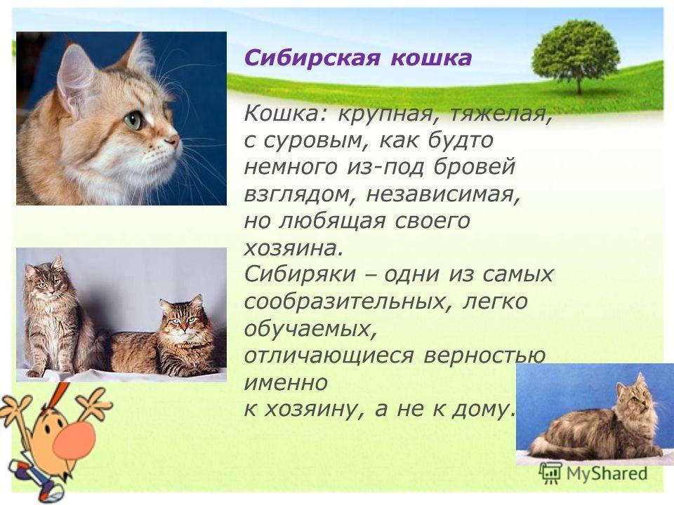 Сибирская кошка Кошка: крупная, тяжелая, с суровым, как будто немного из-под бровей взглядом, независимая, но любящая своего хозяина. Сибиряки – одни из самых сообразительных, легко обучаемых, отличающиеся верностью именно к хозяину, а не к дому.