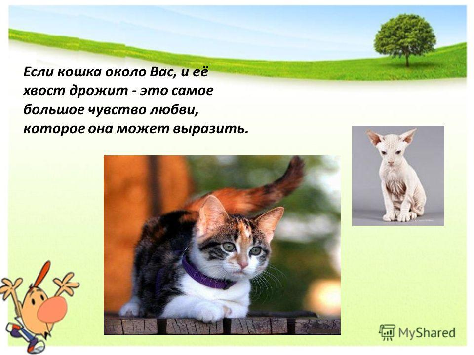 Если кошка около Вас, и её хвост дрожит - это самое большое чувство любви, которое она может выразить.