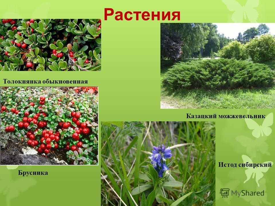 Растения Толокнянка обыкновенная Брусника Казацкий можжевельник Истод сибирский