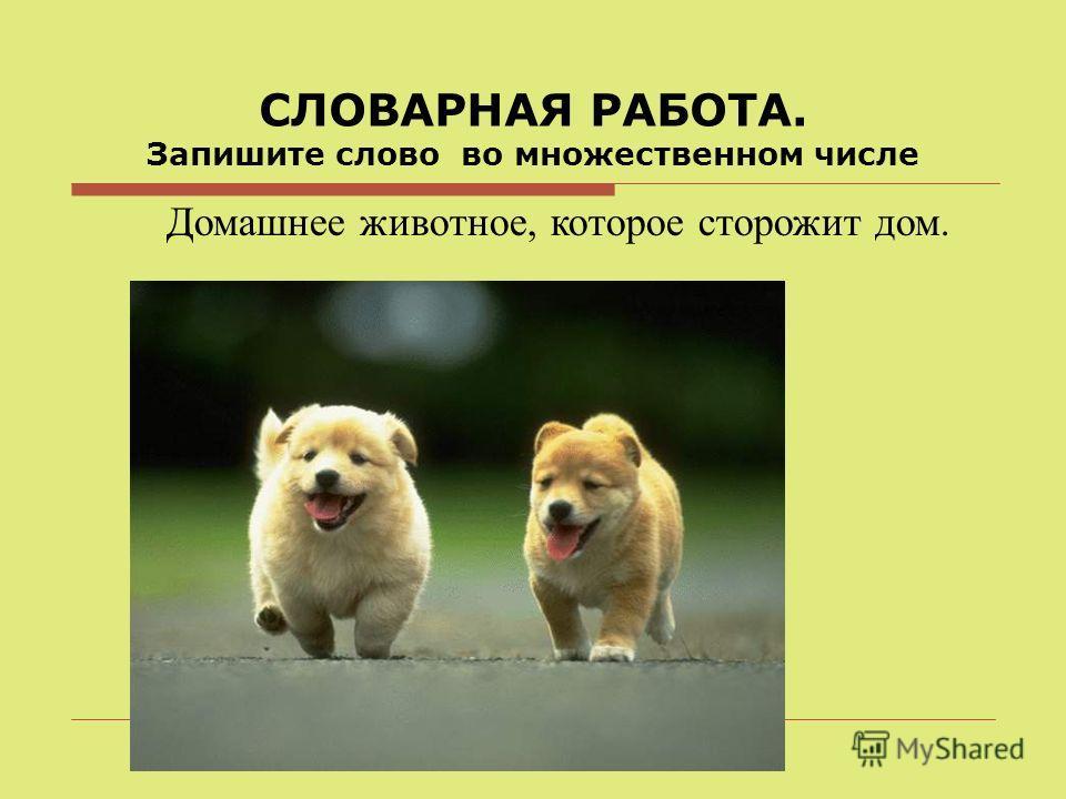 СЛОВАРНАЯ РАБОТА. Запишите слово во множественном числе Домашнее животное, которое сторожит дом.