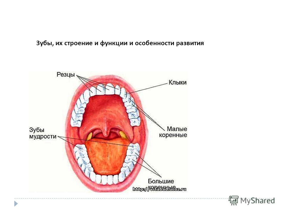 Зубы, их строение и функции и особенности развития