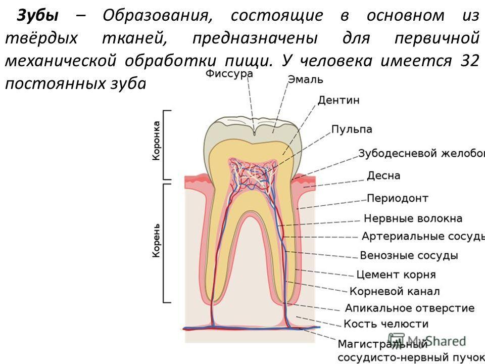 Зубы – Образования, состоящие в основном из твёрдых тканей, предназначены для первичной механической обработки пищи. У человека имеется 32 постоянных зуба.