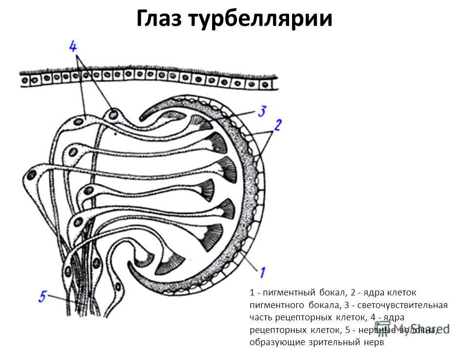Глаз турбеллярии 1 - пигментный бокал, 2 - ядра клеток пигментного бокала, 3 - светочувствительная часть рецепторных клеток, 4 - ядра рецепторных клеток, 5 - нервные волокна, образующие зрительный нерв