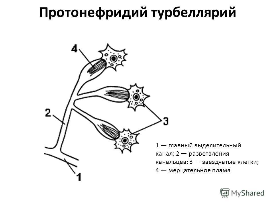 Протонефридий турбеллярий 1 главный выделительный канал; 2 разветвления канальцев; 3 звездчатые клетки; 4 мерцательное пламя