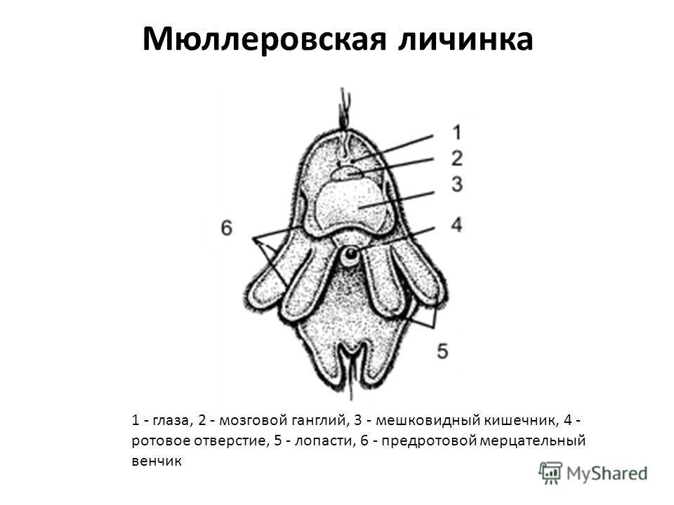 Мюллеровская личинка 1 - глаза, 2 - мозговой ганглий, 3 - мешковидный кишечник, 4 - ротовое отверстие, 5 - лопасти, 6 - предротовой мерцательный венчик