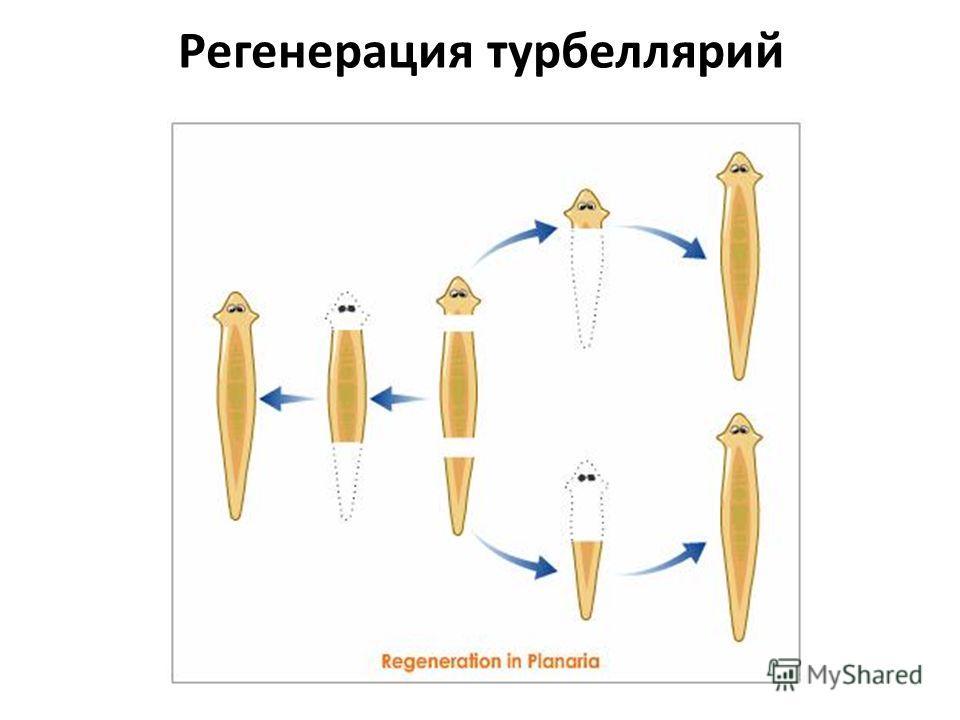 Регенерация турбеллярий