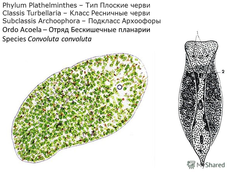 Phylum Plathelminthes – Тип Плоские черви Classis Turbellaria – Класс Ресничные черви Subclassis Archoophora – Подкласс Архоофоры Ordo Acoela – Отряд Бескишечные планарии Species Convoluta convoluta