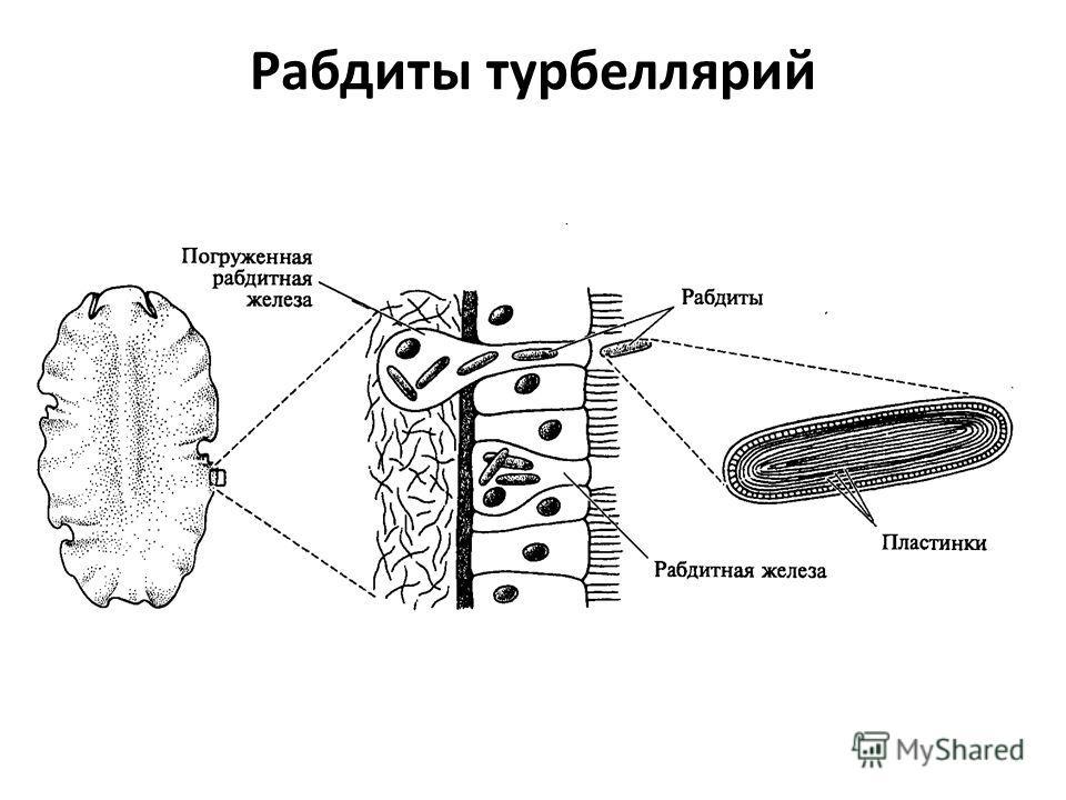 Рабдиты турбеллярий