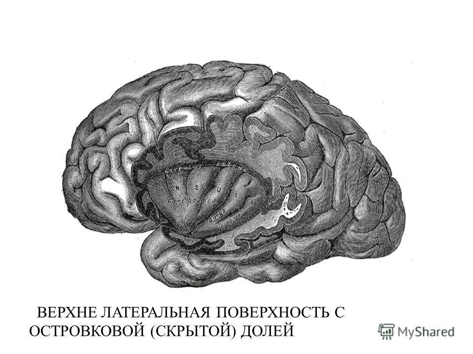 Доля Головного Мозга Островковая фото