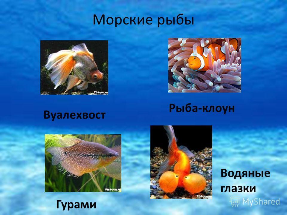 Гурами Рыба-клоун Водяные глазки Вуалехвост