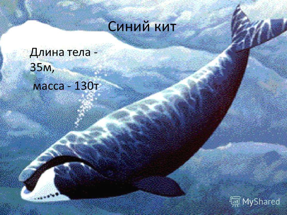 Синий кит Длина тела - 35м, масса - 130т