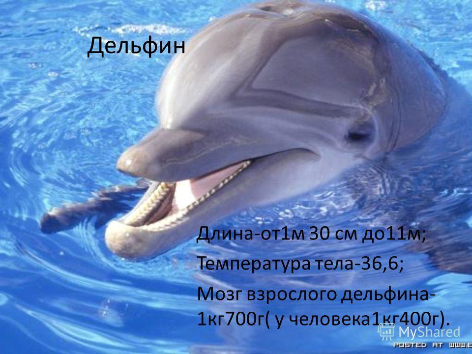 Дельфин Длина-от1м 30 см до11м; Температура тела-36,6; Мозг взрослого дельфина- 1кг700г( у человека1кг400г).