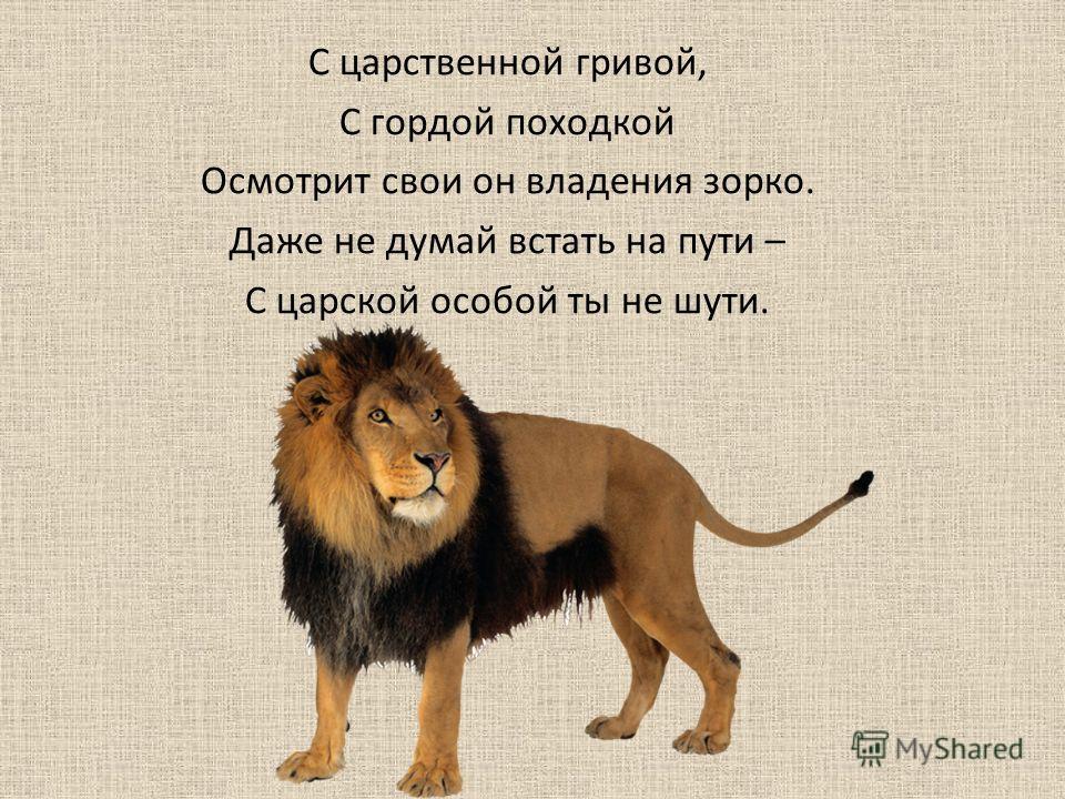 С царственной гривой, С гордой походкой Осмотрит свои он владения зорко. Даже не думай встать на пути – С царской особой ты не шути.