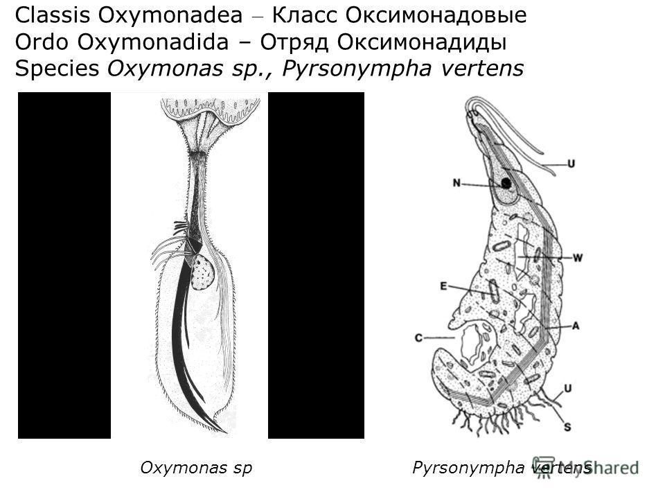Classis Oxymonadea – Класс Оксимонадовые Ordo Oxymonadida – Отряд Оксимонадиды Species Oxymonas sp., Pyrsonympha vertens Oxymonas spPyrsonympha vertens