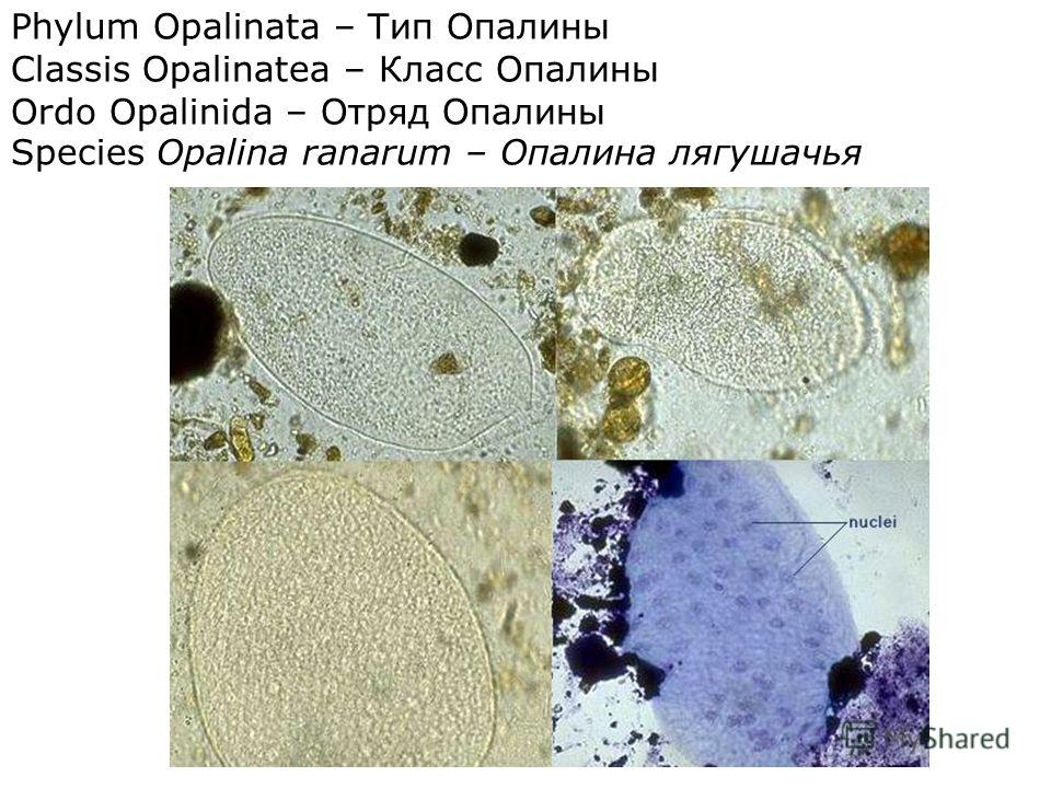 Phylum Opalinata – Тип Опалины Classis Opalinatea – Класс Опалины Ordo Opalinida – Отряд Опалины Species Opalina ranarum – Опалина лягушачья