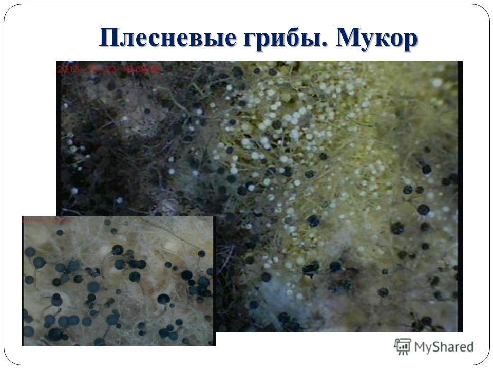 Плесневые грибы. Мукор