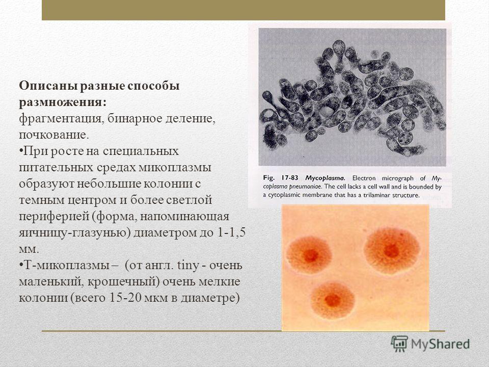Описаны разные способы размножения: фрагментация, бинарное деление, почкование. При росте на специальных питательных средах микоплазмы образуют небольшие колонии с темным центром и более светлой периферией (форма, напоминающая яичницу-глазунью) диаме