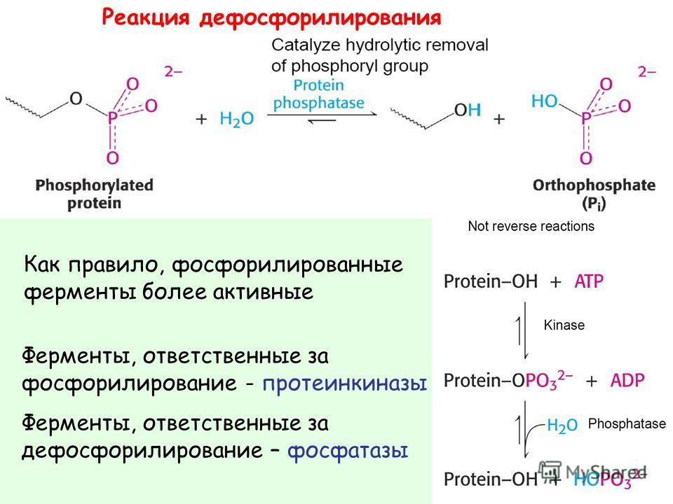 Реакция дефосфорилирования Как правило, фосфорилированные ферменты более активные Ферменты, ответственные за фосфорилирование - протеинкиназы Ферменты, ответственные за дефосфорилирование – фосфатазы