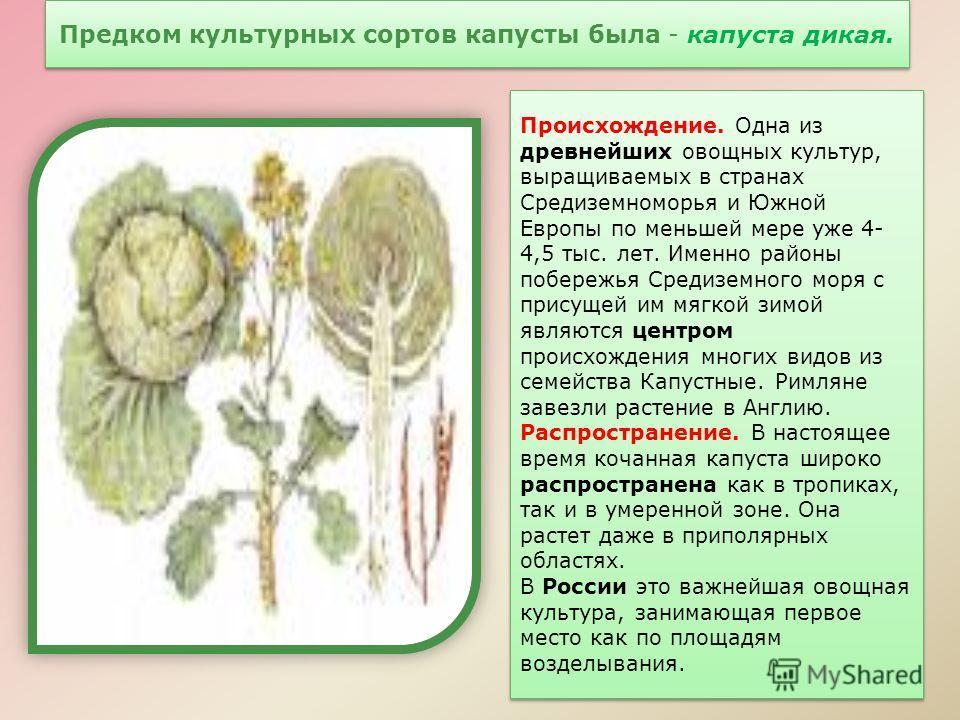 Предком культурных сортов капусты была - капуста дикая. Происхождение. Одна из древнейших овощных культур, выращиваемых в странах Средиземноморья и Южной Европы по меньшей мере уже 4- 4,5 тыс. лет. Именно районы побережья Средиземного моря с присущей