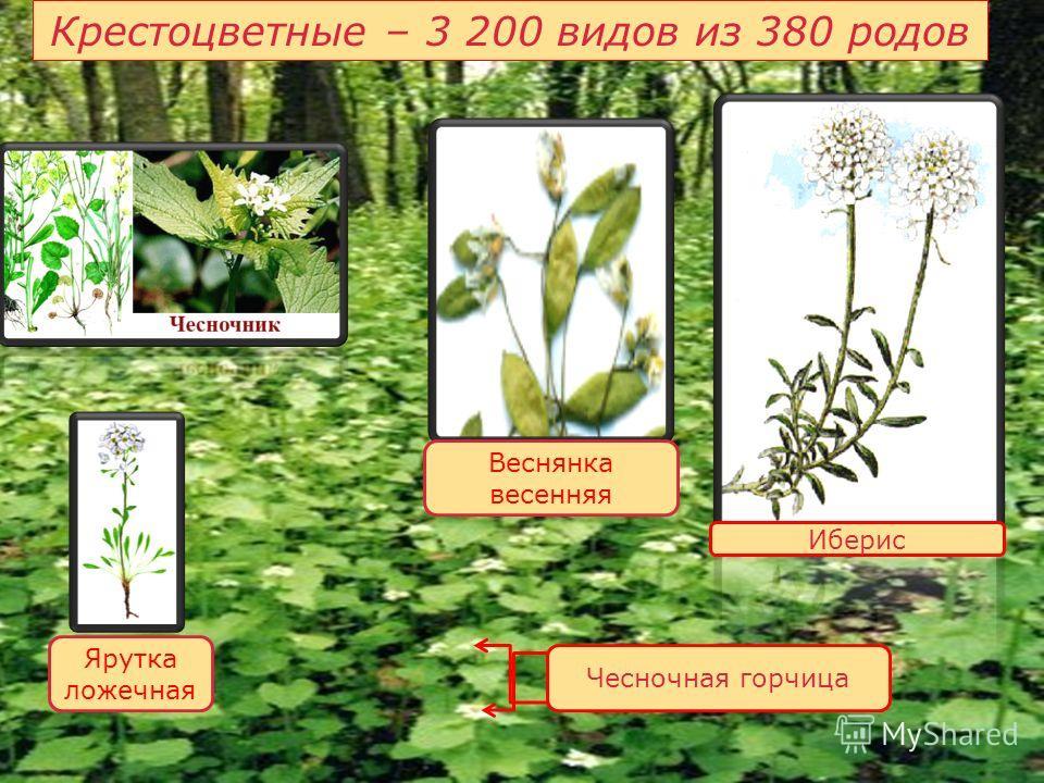 Крестоцветные – 3 200 видов из 380 родов Иберис Чесночная горчица Веснянка весенняя Ярутка ложечная