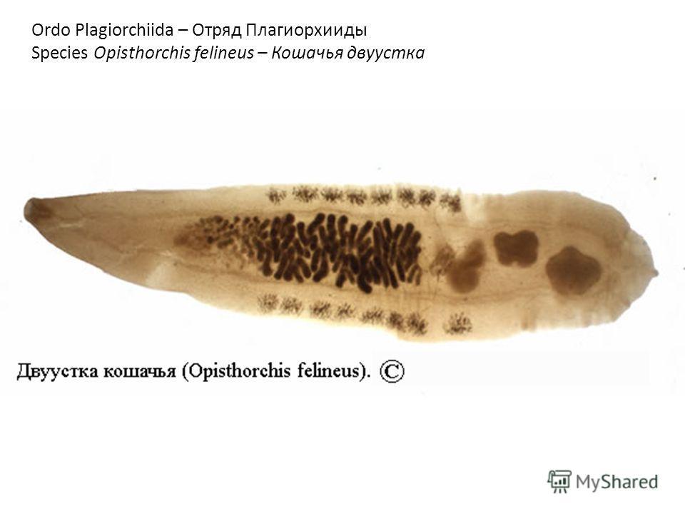 Ordo Plagiorchiida – Отряд Плагиорхииды Species Opisthorchis felineus – Кошачья двуустка