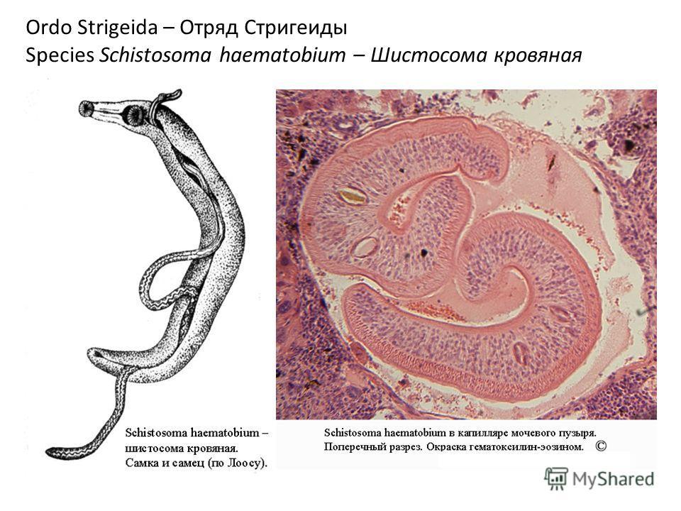 Ordo Strigeida – Отряд Стригеиды Species Schistosoma haematobium – Шистосома кровяная