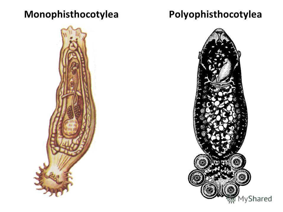 MonophisthocotyleaРоlyophisthocotylea