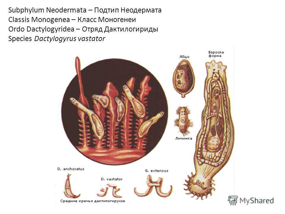 Subphylum Neodermata – Подтип Неодермата Classis Monogenea – Класс Моногенеи Ordo Dactylogyridea – Отряд Дактилогириды Species Dactylogyrus vastator