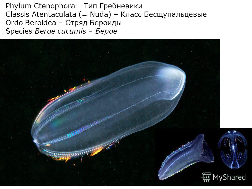 Phylum Ctenophora – Тип Гребневики Сlassis Atentaculata (= Nuda) – Класс Бесщупальцевые Ordo Beroidea – Отряд Бероиды Species Beroe cucumis – Берое