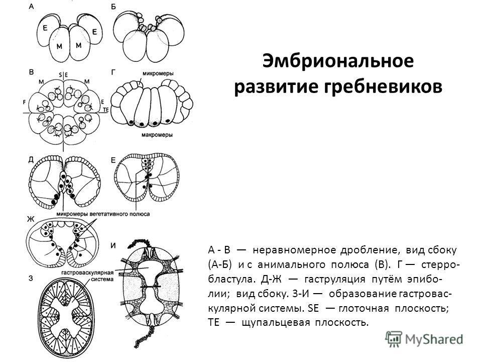 Эмбриональное развитие гребневиков А - В неравномерное дробление, вид сбоку (А-Б) и с анимального полюса (В). Г стерро- бластула. Д-Ж гаструляция путём эпибо- лии; вид сбоку. 3-И образование гастровас- кулярной системы. SE глоточная плоскость; ТЕ щуп