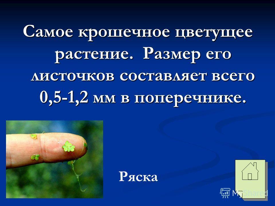 Самое крошечное цветущее растение. Размер его листочков составляет всего 0,5-1,2 мм в поперечнике. Ряска