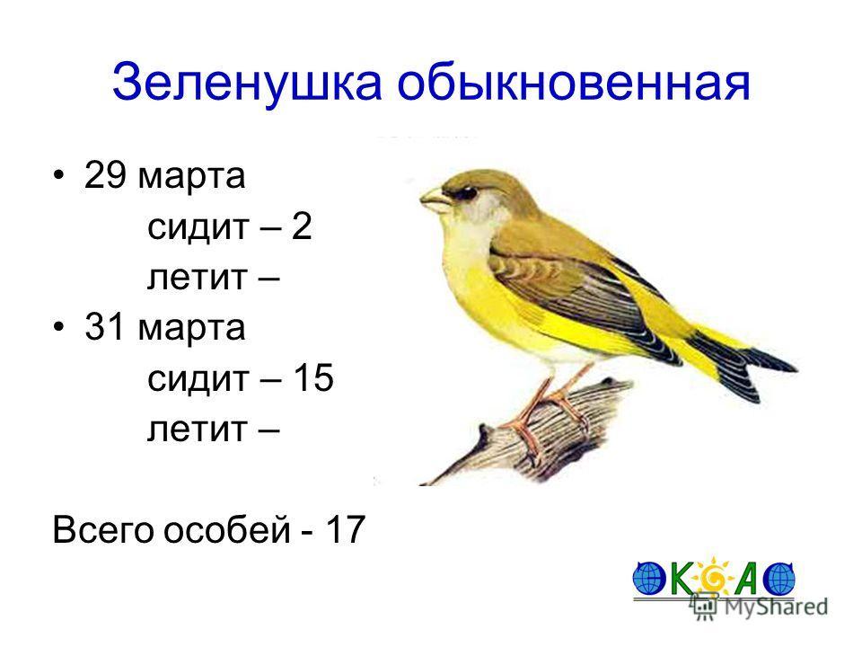Зеленушка обыкновенная 29 марта сидит – 2 летит – 31 марта сидит – 15 летит – Всего особей - 17