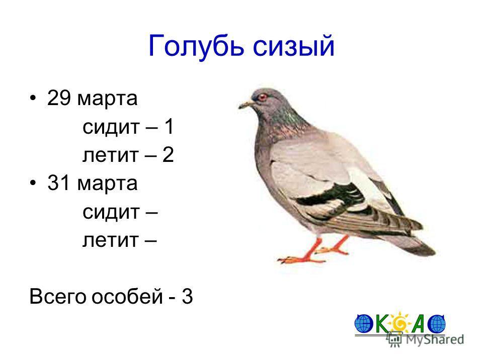 Голубь сизый 29 марта сидит – 1 летит – 2 31 марта сидит – летит – Всего особей - 3