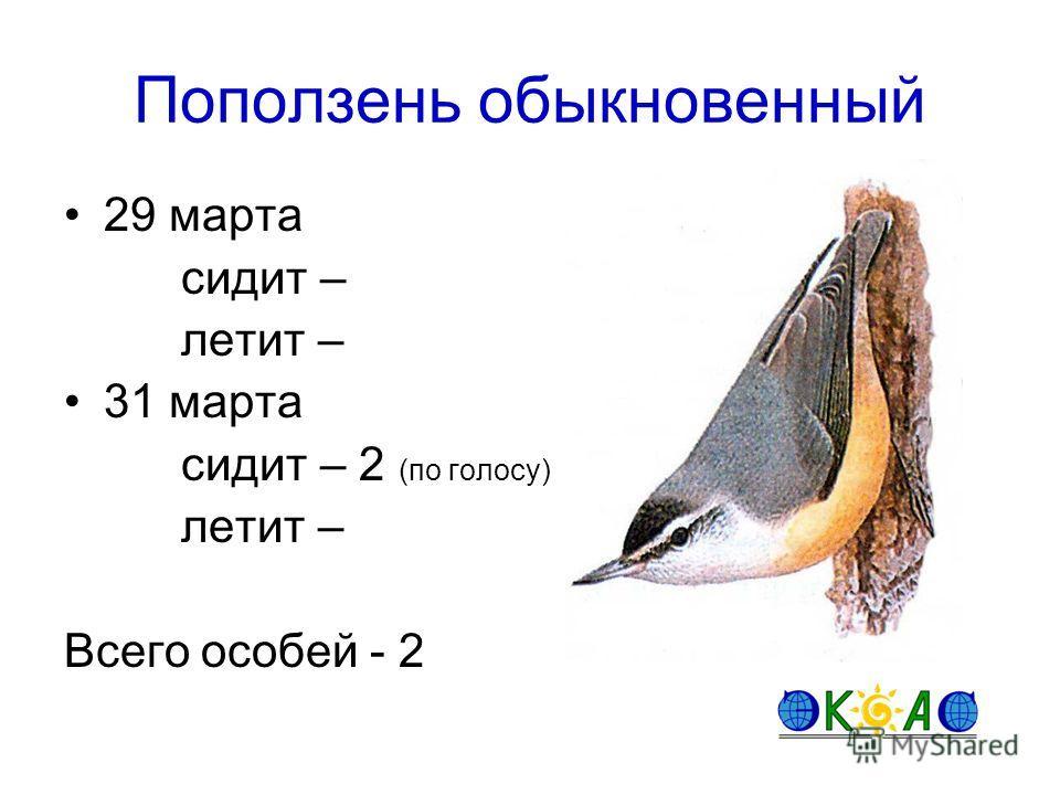 Поползень обыкновенный 29 марта сидит – летит – 31 марта сидит – 2 (по голосу) летит – Всего особей - 2