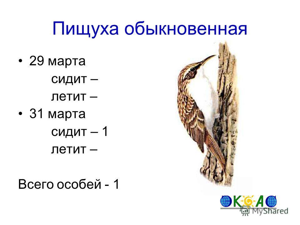 Пищуха обыкновенная 29 марта сидит – летит – 31 марта сидит – 1 летит – Всего особей - 1