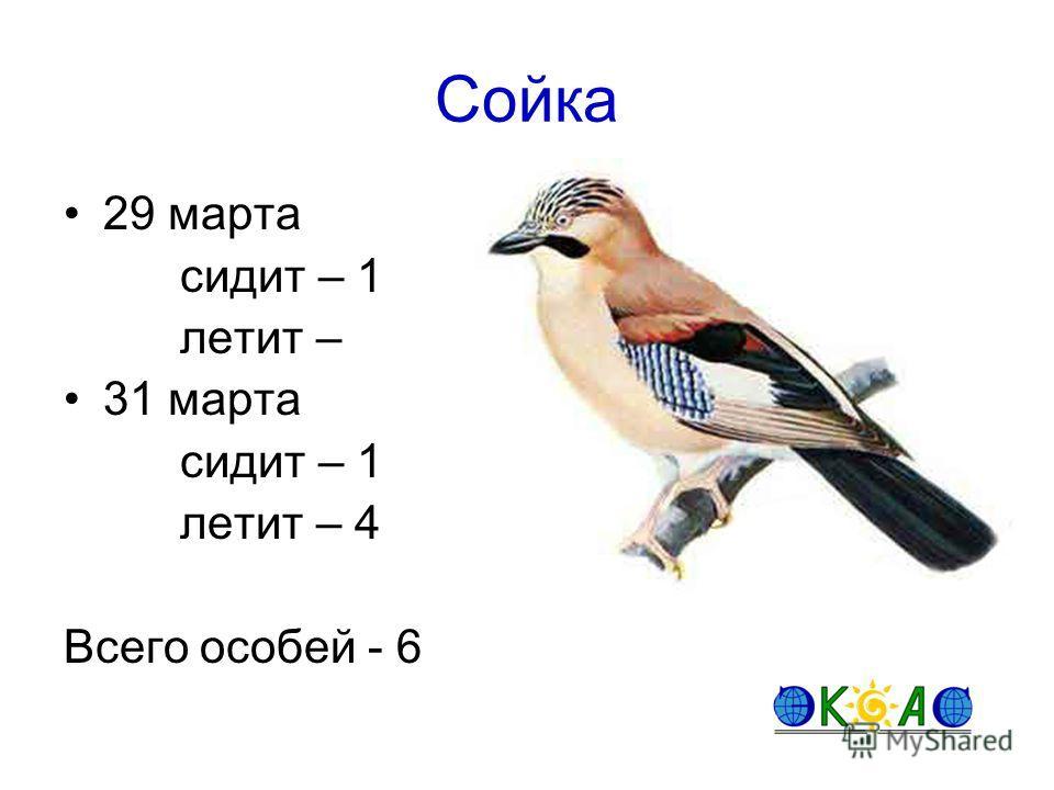 Сойка 29 марта сидит – 1 летит – 31 марта сидит – 1 летит – 4 Всего особей - 6