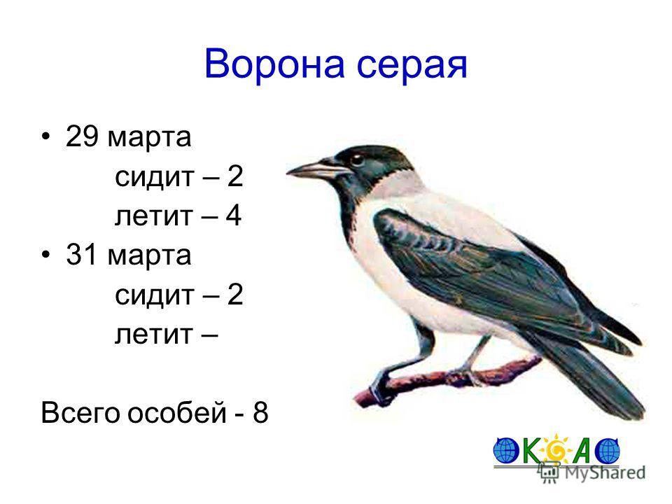 Ворона серая 29 марта сидит – 2 летит – 4 31 марта сидит – 2 летит – Всего особей - 8