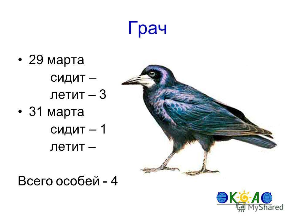 Грач 29 марта сидит – летит – 3 31 марта сидит – 1 летит – Всего особей - 4